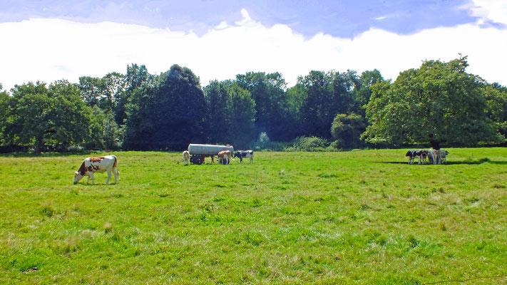 Manchmal findet man sie doch noch: Eine Weide voller Kühe.
