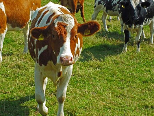 Wechselwirkende Beobachtung: Doch bei dem ganzen fotografieren wird so manch eine Kuh aufmerksam!