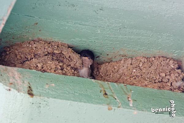 Oisillon dans son nid - Hirondelle de Fenêtre - Port de la Cotinière - Ile d'Oléron - Béanico-Photo