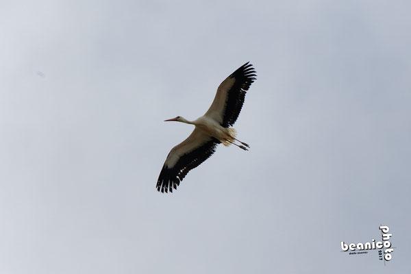 Cigogne en vol - Marais de l'Eguille - Ile d'Oléron - Béanico-Photo
