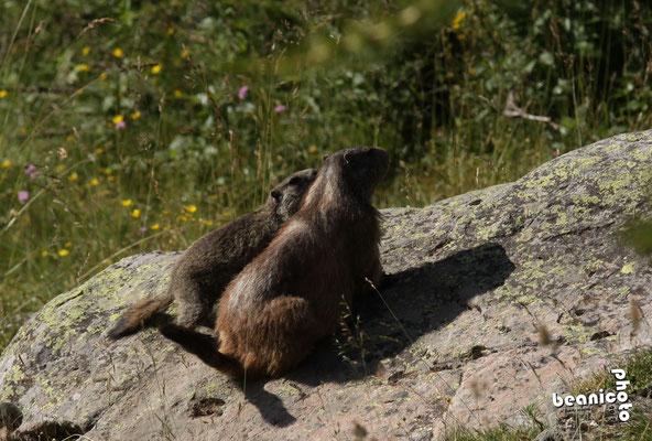 Canon Eos 50D + Tamron 70-200 mm f/2.8 SP + Kenko teleplus 1,5x - Marmottes du Lac d'Allos - Beanico Photo