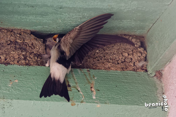 Hirondelle de Fenêtre donnant à manger à son petit - Port de la Cotinière - Ile d'Oléron - Béanico-Photo