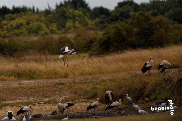 Cigogne à l'atterrissage - Marais de l'Eguille - Ile d'Oléron - Béanico-Photo
