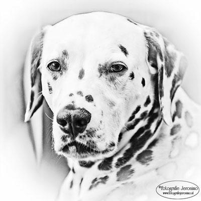 Fotografie, Jeronimo, Roosendaal, Brabant, dierenfotografie, dierenfotograaf, hondenfotografie, hondenfotograaf, portretfotografie, portretfotograaf, hond, 24