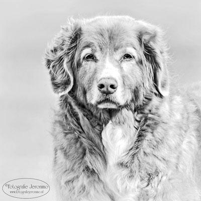 Fotografie, Jeronimo, Roosendaal, Brabant, dierenfotografie, dierenfotograaf, hondenfotografie, hondenfotograaf, portretfotografie, portretfotograaf, hond, 26