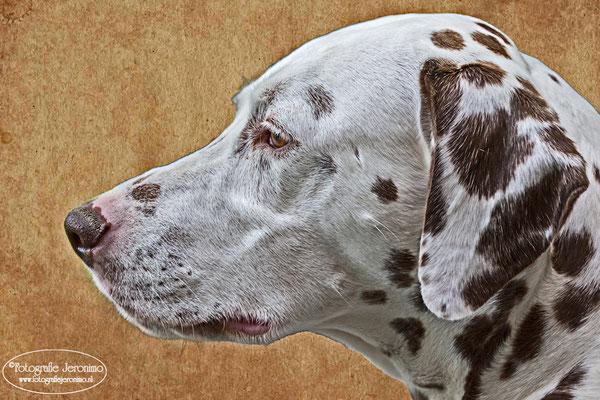 Fotografie, Jeronimo, Roosendaal, Brabant, dierenfotografie, dierenfotograaf, hondenfotografie, hondenfotograaf, portretfotografie, portretfotograaf, hond, 22