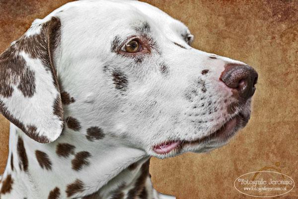 Fotografie, Jeronimo, Roosendaal, Brabant, dierenfotografie, dierenfotograaf, hondenfotografie, hondenfotograaf, portretfotografie, portretfotograaf, hond, 21