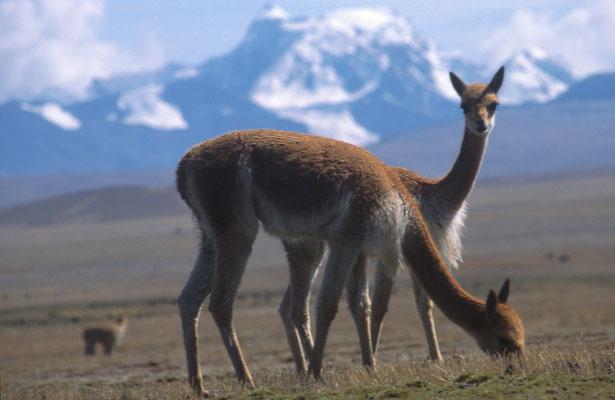 Vicuñas vor schneebedeckten Sechstausendern - ein häufiges Fotomotiv