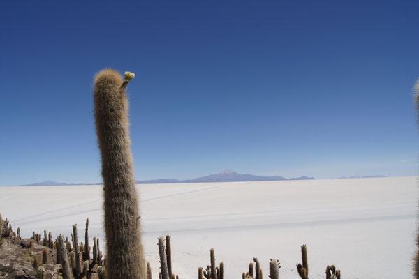 Eine Insel mit meterhohen Kakteen mitten im Weiss des Salzsees - Picknick mit Bolivienline