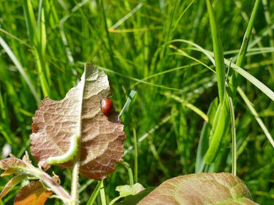 Eine wertvolle Wiese ist die Heimat vieler Insekten