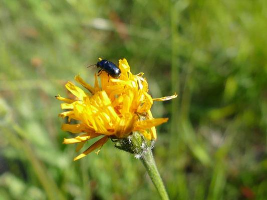 Manche Käfer ernähren sich von Pollen und Nektar
