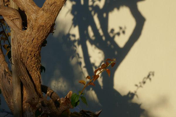 Bougainville und Schatten