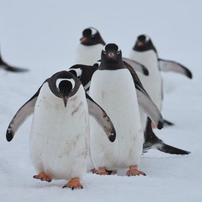 Gentoos Pinguins - Danco Island - © Sasha Romanovsky