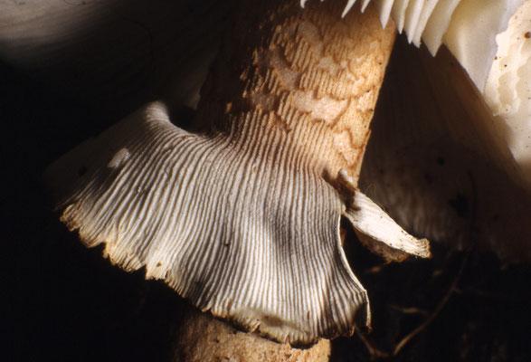 Anello membranoso (A. rubescens)