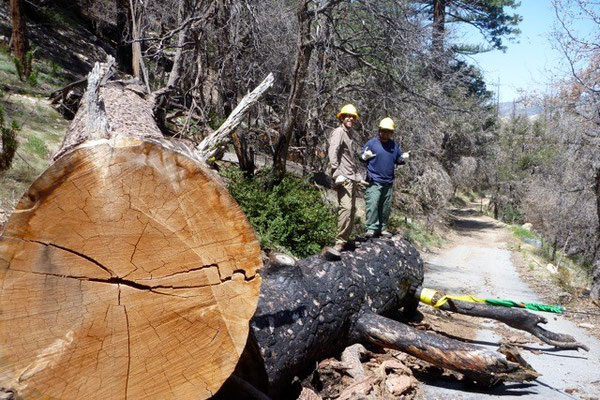 Getting ready to drag a large diameter log, Angeles National Forest, 2012