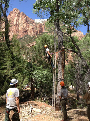 Climbing a tree ladder with a harness and flip line, Zion National Park, UT, 2014 (photo by Erin Amadon)