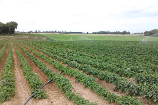 Pieds de pommes de terre plein champ