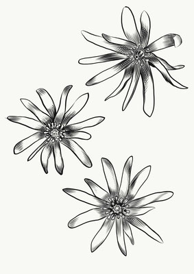 Sternanisblüte
