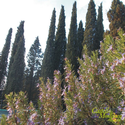 Ramerino in fiore e cipressi • Rosemary in bloom and cypress.
