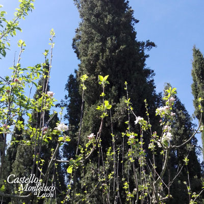 Susino in fiore e cipressi • Plum tree in bloom and cypresses