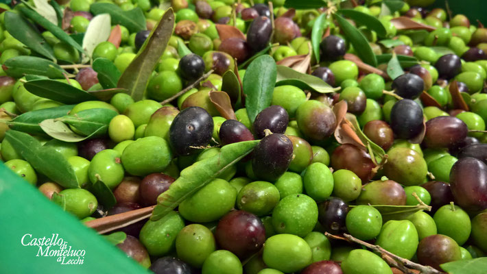 Arrivano le olive! • The olives arrive!