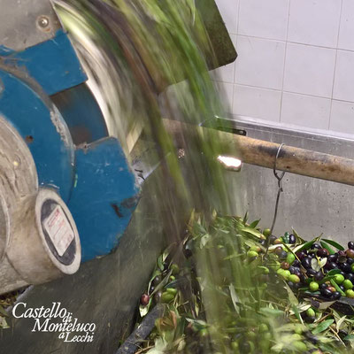 Le olive entrano nel frantoio • Olives enter the oil mill