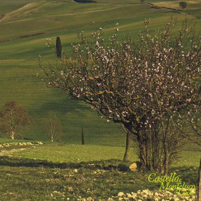 Alberi in fiore tra le vigne • Flowering trees in the vineyards [Antonio Cinotti]