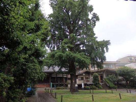 区保存樹の大銀杏(常圓寺)