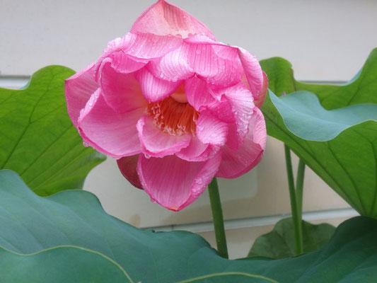 雨中の連花(立源寺)