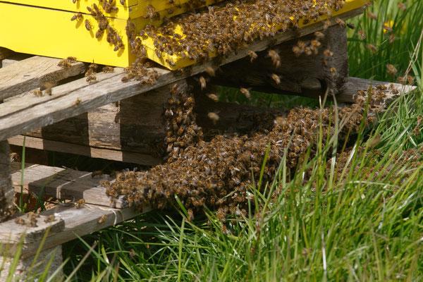 grote drukte bij de bijenkast, waarschijnlijk is er een koningin uitgevlogen