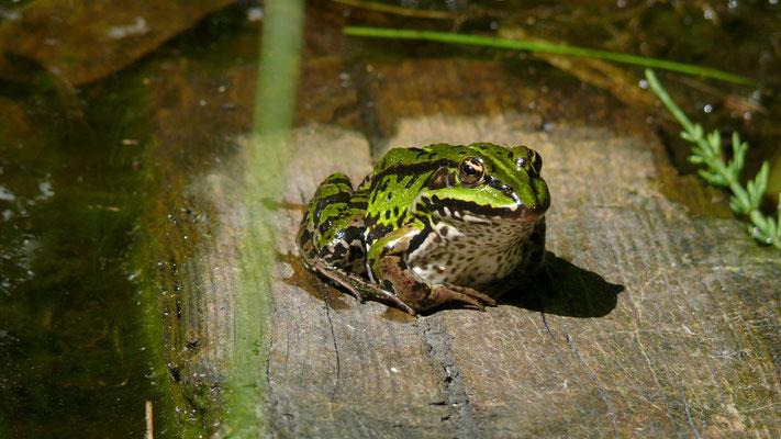 Frosch 2009