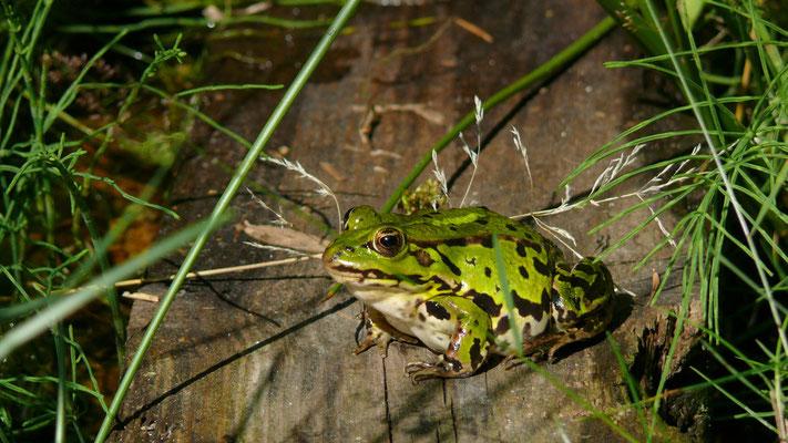 Frosch 2008