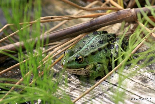 Frosch 2010
