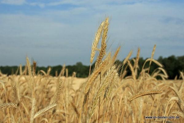abgeerntetes Feld in Schmarbeck