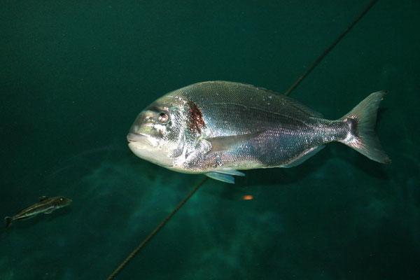 Aquarium Hirtshals Seebrasse