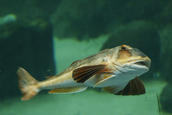 Aquarium Hirtshals Petermännchen