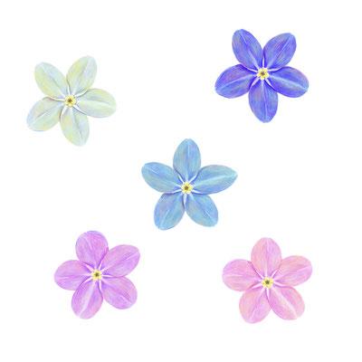 花菜ガーデン広告使用イラスト/ワスレナグサ