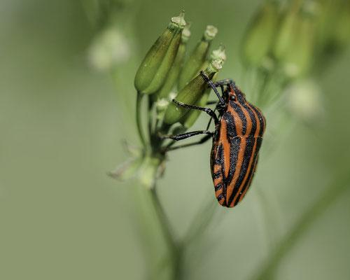 Streifenwanze (Graphosoma lineatum)