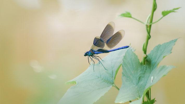 """""""Blauflügel-Prachtlibelle!""""  Die Männchen der Blauflügel-Prachtlibelle haben einen metallisch blau glänzenden Körper und die Weibchen haben einen kupfer- bis bronzefarbenen Körper!"""