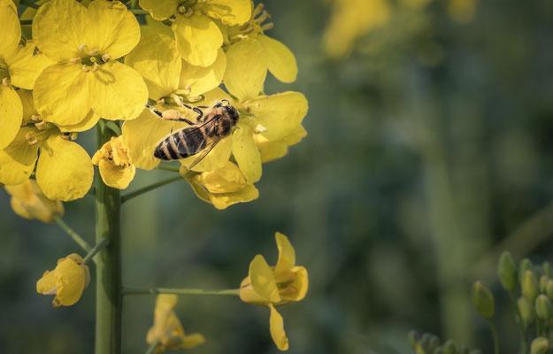 """""""Honeybee!"""""""