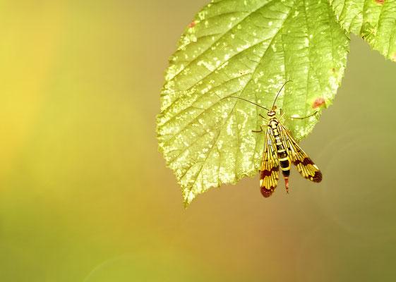 """""""Gemeine Skorpionsfliege!"""" Es ist ein Weibchen, die Männchen haben hinten einen Stachel der an einen Skorpion erinnert."""