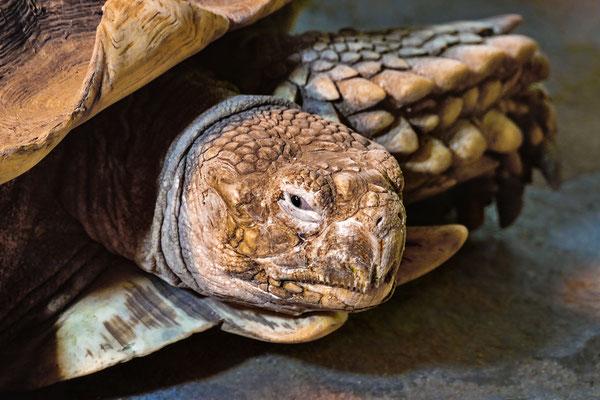 """""""Spornschildkröte!"""" (Centrochelys sulcata) Sie ist die drittgrößte Schildkrötenart!"""