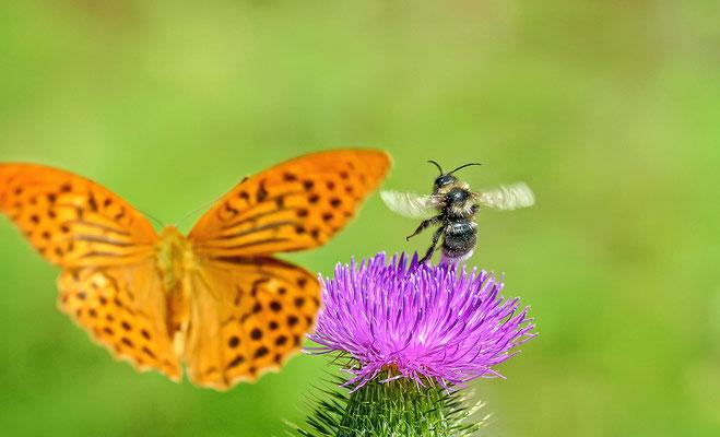"""""""Tanz auf der Distel!"""" Eine Hummel mit einem Kaisermantel-Schmetterling!"""