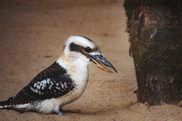 """""""Jägerliest!"""" Auch Lachender Hans genannt. In Australien nennt man ihn Kookaburra. Er ist ein Vogel aus der Familie der Eisvögel."""