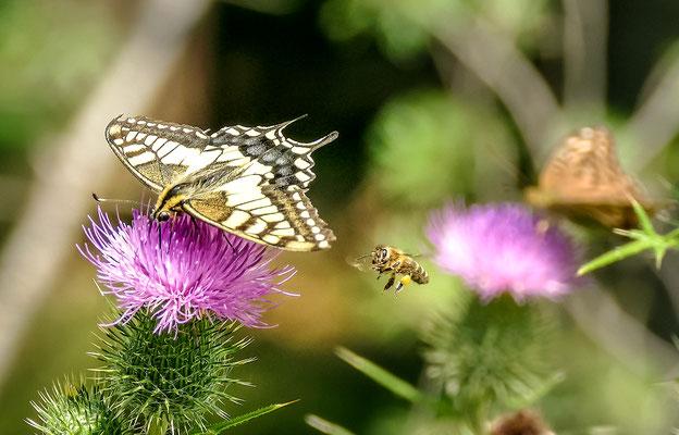 """""""Restaurant Distel!""""  Ein Schwalbenschwanz auf einer Distel mit anfliegende Biene!"""
