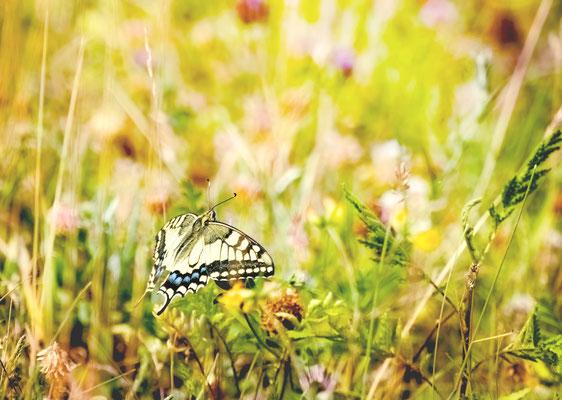 """""""Schwalbenschwanz (Papilio machaon)!"""""""