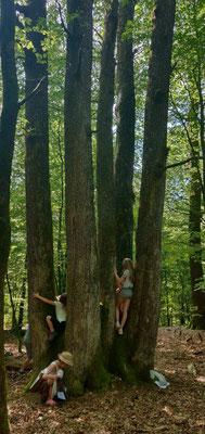 Maissin : le chêne à 5 troncs