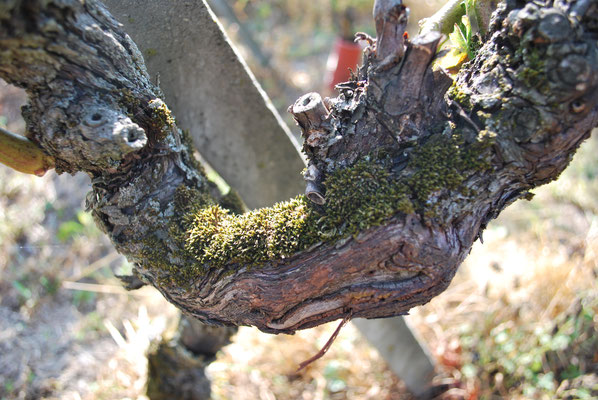 Vecchi ceppi di Pinot Noir