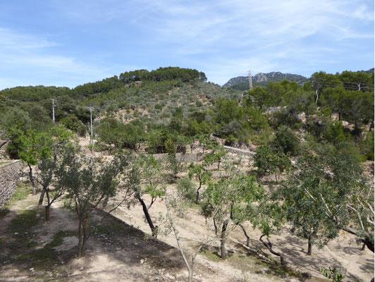 Das Goldene Tal und seine vielen Olivenbäume