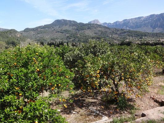 Orangen- und Zitronenplantagen - Hammer!!!